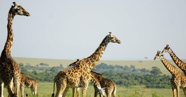 7 steps to better networking - Giraffe on the Masai Mara in January 2018 - Julie Wolpers
