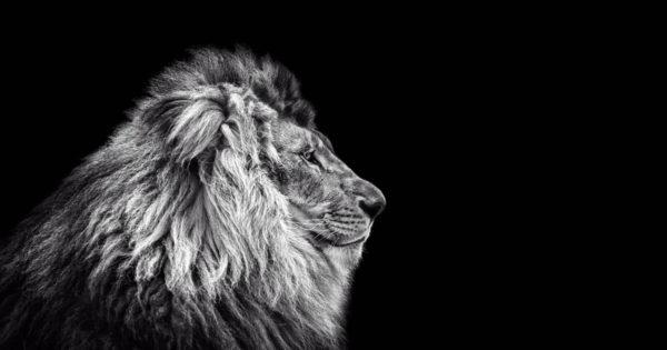 lion-1200px